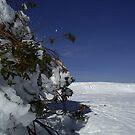 snow gum, Mt Stirling by DannicaS