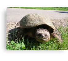 Huge Snapping Turtle Laying Eggs Canvas Print
