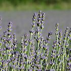 Lavender flowers by solena432
