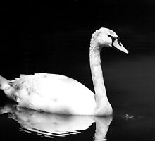 Young Swan #2 by Hovis