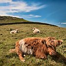 Cornwall - Cape Cornwall Cows by Simon Marsden