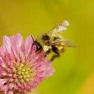 Clover and bumble by Al Williscroft