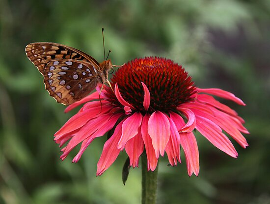 Fritillary on Coneflower by Alice Kahn