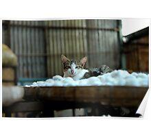 Cat resting on a tray of silkworm cocoons. Da Lat (Dalat), Vietnam Poster