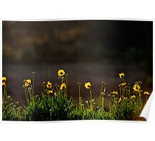 Yellow flowers in late afternoon sunlight. Poster