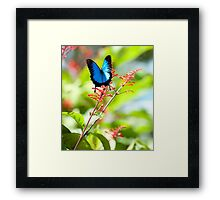 Beautiful Blue - Ulysses butterfly Framed Print