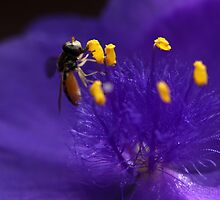 Syrphid Fly On Common Spiderwort by Renee Blake