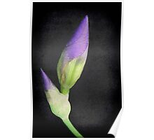 Popping Up Irises ©  Poster