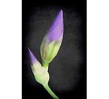 Popping Up Irises ©  Photographic Print