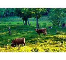 Out in the Pasture Photographic Print
