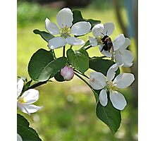Bumble Bee on Apple Blossom Photographic Print