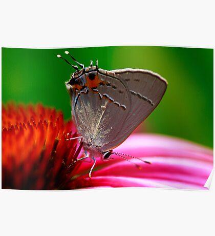 Hairstreak Butterfly Poster