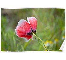 Little Poppy Poster
