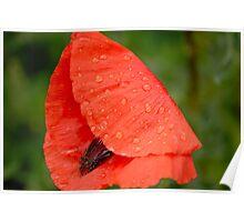 Poppy in the Rain Poster