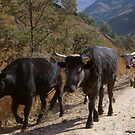 Sanni Pass cows by BigBlue222