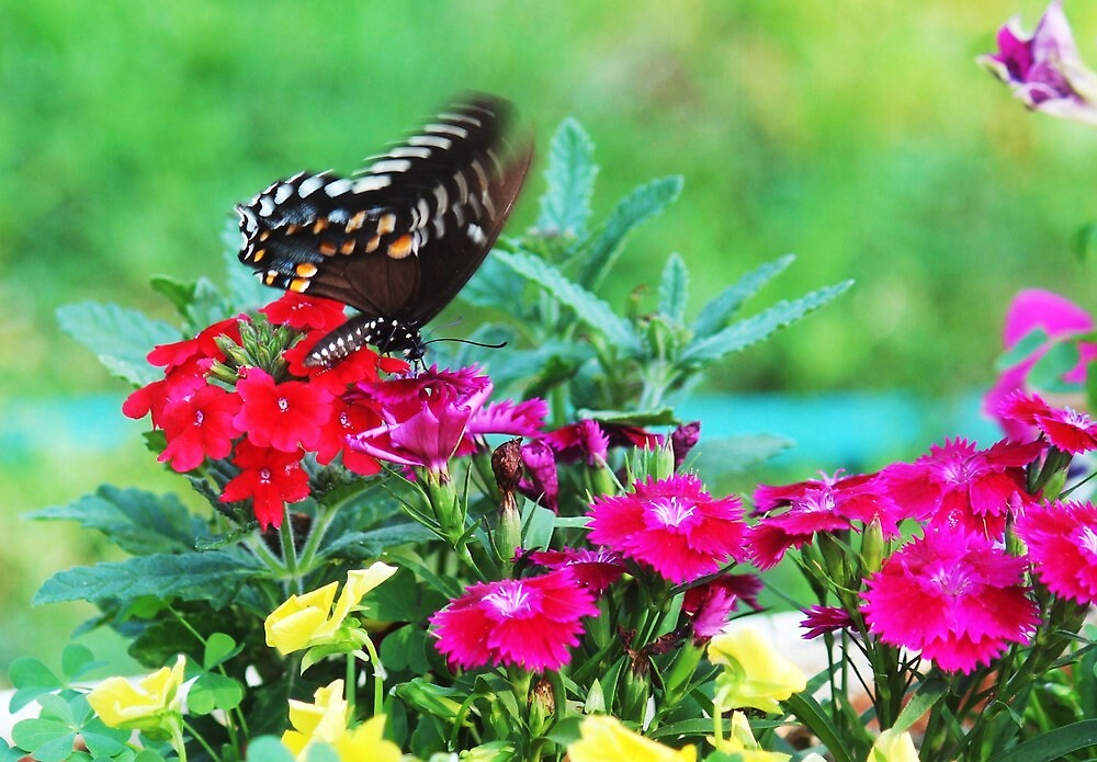 butterfly on flowers by SusieG