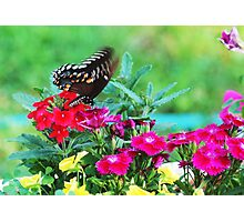 butterfly on flowers Photographic Print