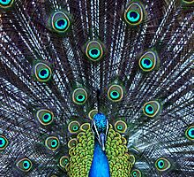 Peacock by skretchy