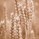 Wheat Sepia by vbk70