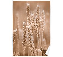 Wheat Sepia Poster