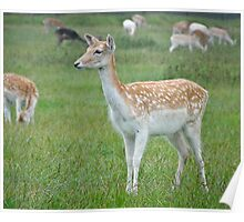 Sika Deer Poster