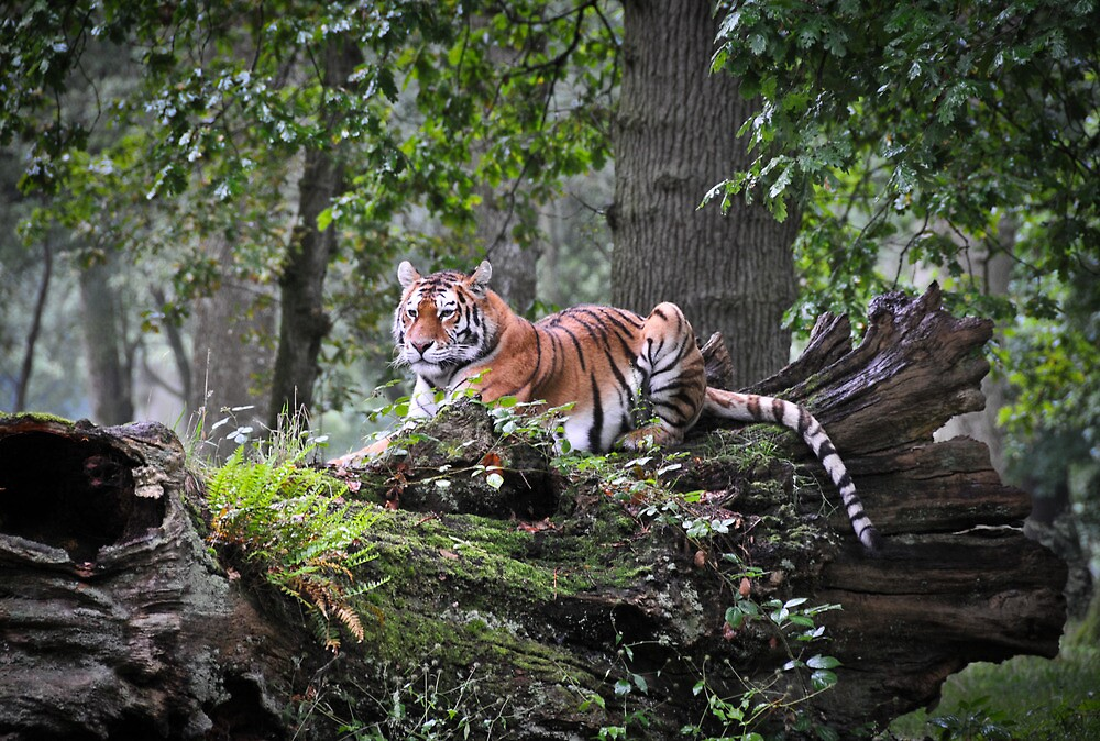Royal Bengal Tiger by Dhruba Tamuli