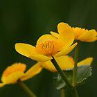 Buttercups by James Hennman