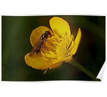 A buzz in a buttercup Poster