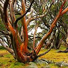 Early Morning Snow Gum-Falls Creek by neverforgotten