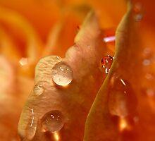 Rain on a Rose by Debbie Pinard