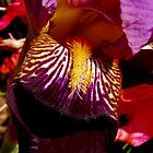 colorful iris abstract #2 by dedmanshootn