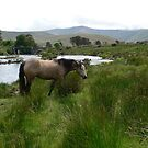 The Horse of Ashleigh Falls,Grazing in the field,by the River Erriff. by Pat Duggan