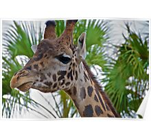 Giraffe at the Houston, TX, Zoo Poster