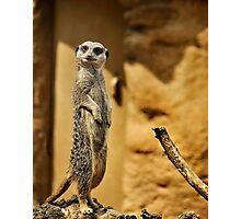 Meerkat,  London Zoo Photographic Print