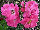 Old-Fashioned Pink Climbing Roses - Enhanced by MotherNature