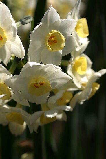 Happy Cluster - Daffodils by Joy Watson