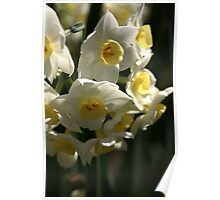 Happy Cluster - Daffodils Poster