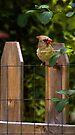 Lady Cardinal by KBritt