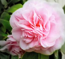 Begonia in Pink by EdsMum