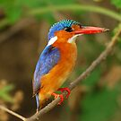 TANZANIA - Malachite Kingfisher by Marieseyes