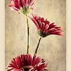 Gerbera Trio by Aj Finan