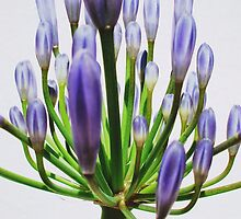 The flower of Agapanthus is going to come out -5 by acquart