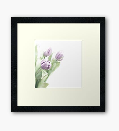 Pale lilac-coloured tulips Framed Print