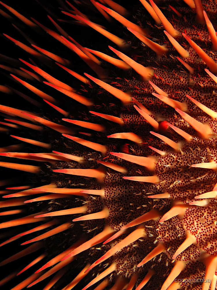 Red crown-of-thorns starfish by cooperscuba
