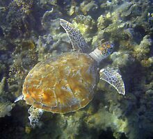 Green Turtle, Tantabiddi Sanctuary Zone, Exmouth by JVGMcGhie