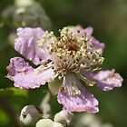 Blackberry Flowers by marens
