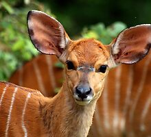 Female Nyala by Magic-Moments
