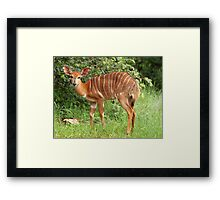 Female Nyala Framed Print