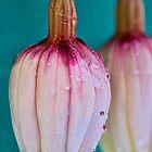 Fuchsia pod  by DIANE  FIFIELD