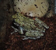 Grey Tree Frog 002 by toxxxickitten